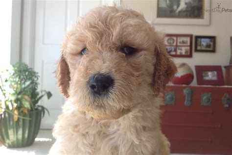 goldendoodle puppy missouri goldendoodle puppy for sale near columbia jeff city