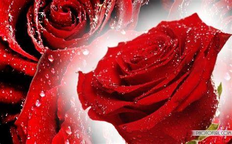 red rose desktop wallpapers wallpaper cave free red rose wallpapers wallpaper cave
