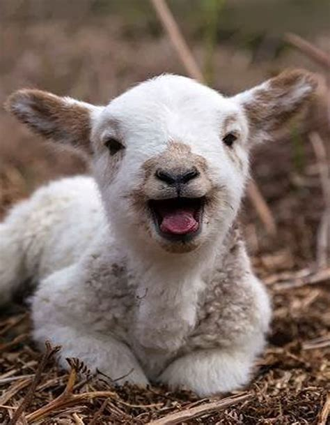 Happy Goat Meme - happy baby goat eyebleach