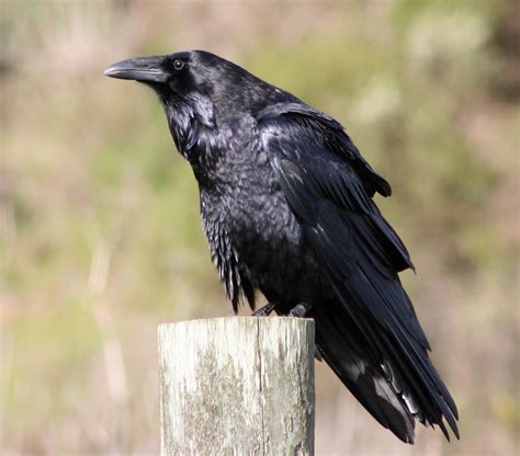file common raven by david hofmann jpg wikimedia commons
