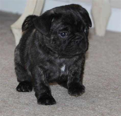 frenchie and pug pug and bulldog frenchie pug it s all about the
