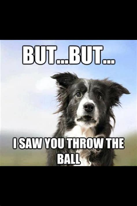 Border Collie Meme - border collie animals