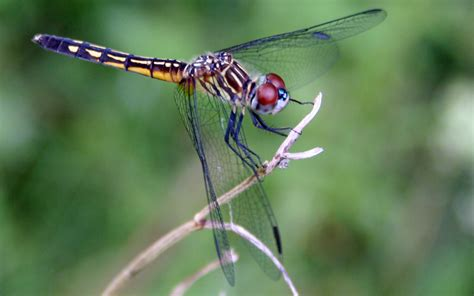 images of dragonflies princeton landing news nature guide dragonflies
