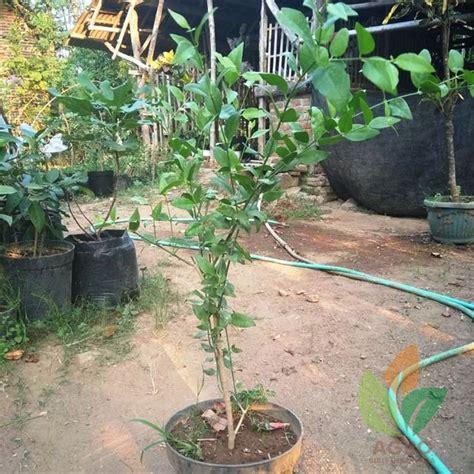 Bibit Siwak jual bibit pohon kayu siwak 1 meter agro bibit id