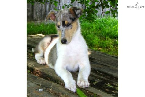 smooth collie puppies for sale purebred collies for adoption breeds picture