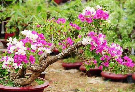 cara membuat bunga kertas bonsai cara merawat bunga kertas bagi pemula tanaman hias bunga
