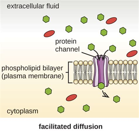 2 proteins in facilitated diffusion difference between simple diffusion and facilitated