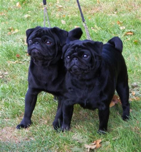 black pug temperament is she pug yahoo answers