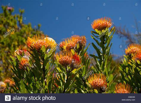 kirstenbosch botanical gardens indigenous plants south africa cape town kirstenbosch national botanical