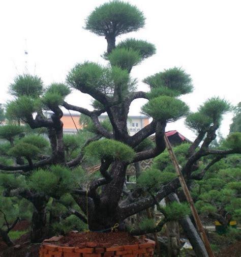 Bibit Pohon Cemara Udang cara membuat dan merawat bonsai cemara udang bibitbunga