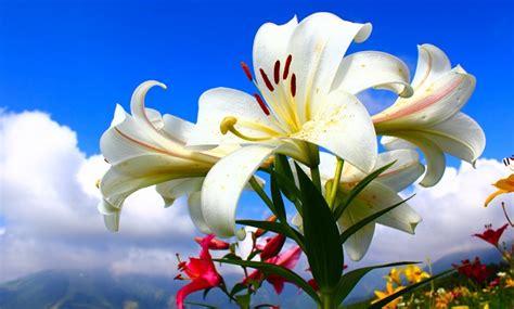 imagenes de lilis blancas significado de la flor de lili significado de las flores