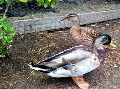 backyard duck breeds duck breeds for backyard flocks animals wildlife and