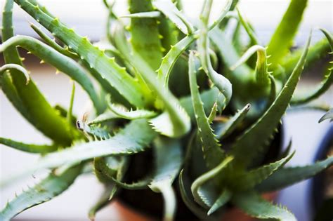 do aloe plants need sunlight 10 common houseplants and how to take care of them zing