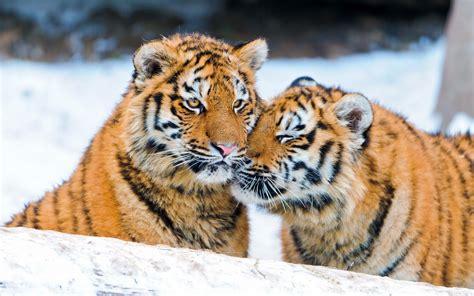 fotos animales tigres fotos de tigres en la nieve fotos e im 225 genes en fotoblog x