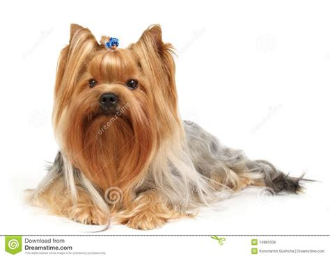 how to clip a yorkie terrier clip newhairstylesformen2014