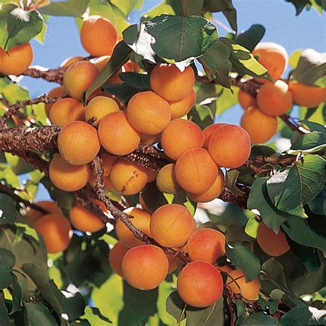 apricot fruit trees early golden apricot apricot trees stark bro s