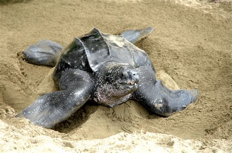 The Tortoise Will Lay Eggs Mainan Anak Limited 17 interesting facts any visitor should about and tobago destination and
