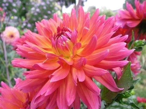 Dahlia Apple 41 best images about dahlias 2016 on feathers