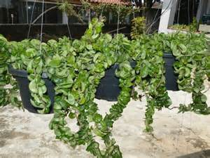 hoya compacta hindu rope plant world of succulents