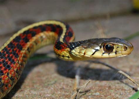 Garter Snake Urine 10 And Wacky Animal Mating Habits Ecorazzi