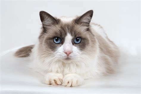 2 ragdoll cats 6 most affectionate cat breeds