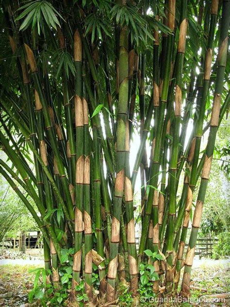 gigantochloa atter bamboo seeds privacy plants bamboo