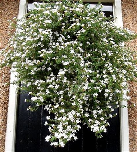 draping plants 17 best images about window boxes on pinterest sun