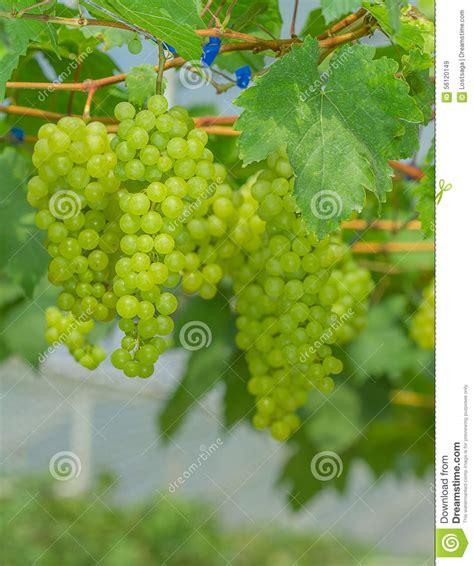 imagenes de uvas frescas uvas verdes frescas y jovenes foto de archivo imagen