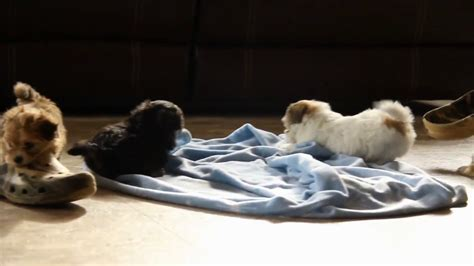 shorkie poo puppies for sale shorkie poo puppies for sale