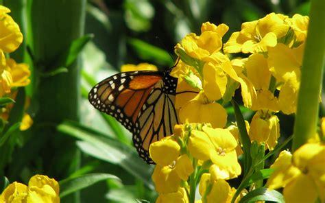wallpaper bergerak kupu kupu wallpaper cinta dan kupu kupu bergerak cantik auto