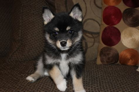 pomeranian and siberian husky mix for sale view ad pomeranian siberian husky mix puppy for sale utah centerville