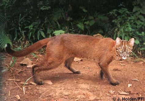 borneo bay cat endangered earth blog borneo bay cat