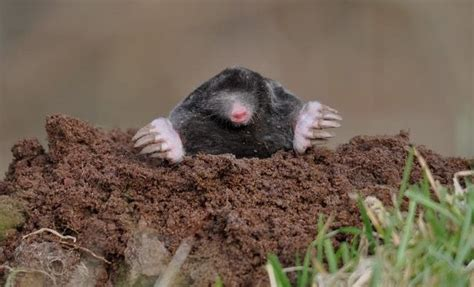 how to get rid of moles in my backyard lawn archives aerating thatching co