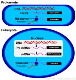 where in a eukaryotic cell does translation occur from gene to protein biology 110h basic concepts