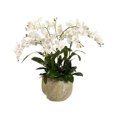 Tanaman Hias Anggrek Bulan Putih rangkaian anggrek bulan murah harga 1 juta toko bunga murah
