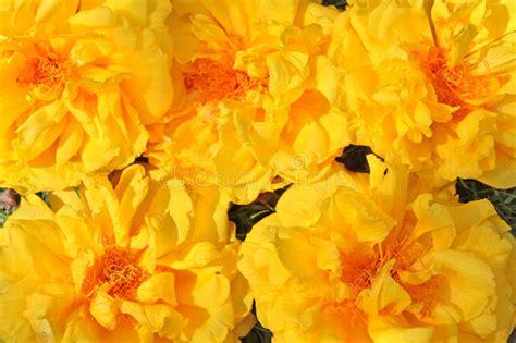 fiori gialli di co fiori esotici regium di cochlospermum immagine stock