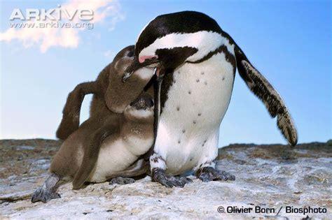 African Penguin Predators