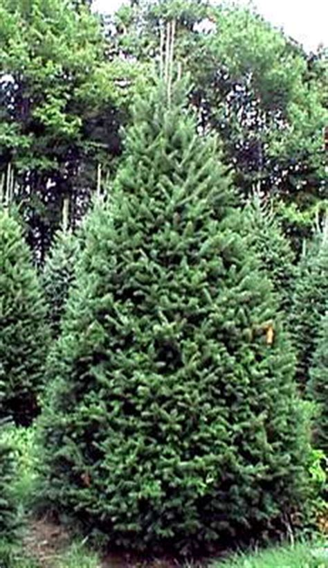 fir canadian christmas tree growers