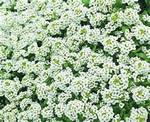 100 seeds alyssum cheers white ground cover ebay