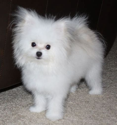 teacup pomeranian mix maltipom maltese x pomeranian info temperament puppies pictures