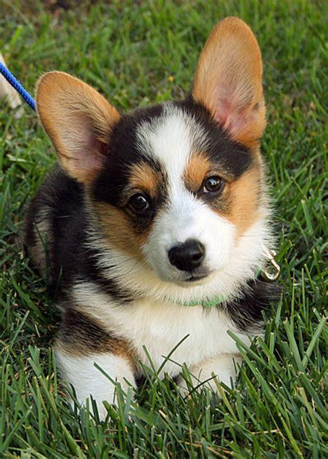 images of corgi puppies can t get enough pix of pembroke corgis daily puppy