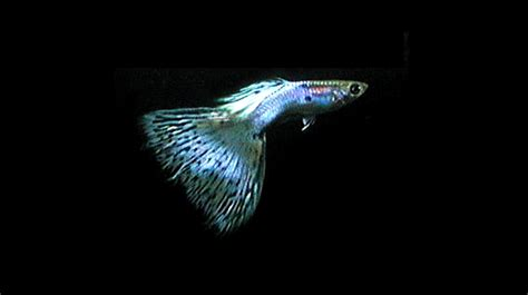 Tanaman Plastik Import 03 you are pet s keistimewaan guppy dan pemijahannya