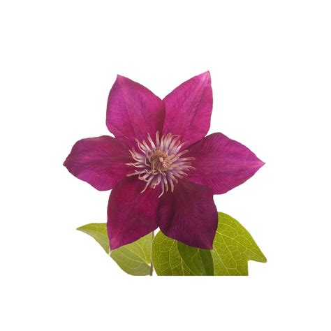 burgundy red clematis clematis types of flowers