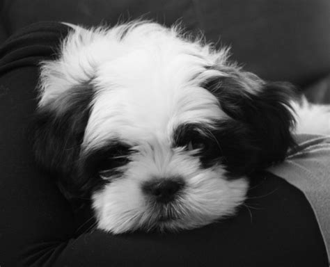 how much will my shih tzu weigh 1000 images about shih tzu on big thing puppys and hair care products