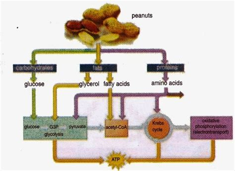 carbohydrates science catabolism of carbohydrate and protein new science