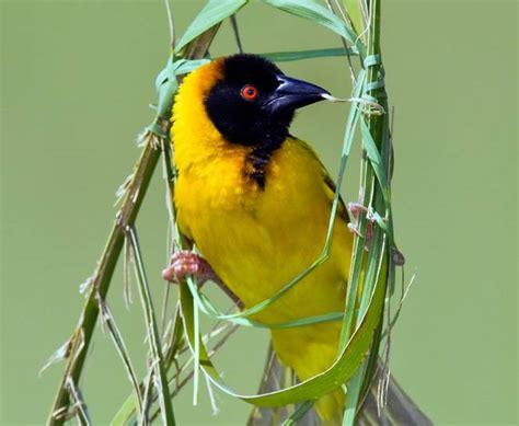 nature blows my mind weaverbirds craft amazing nests