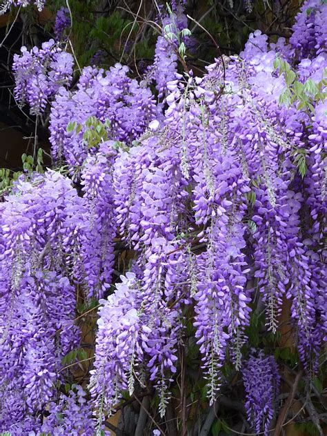 wisteria flower mother nature s compass something of a fairyland mother