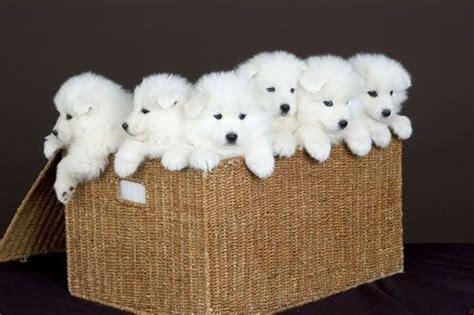 siberian samoyed puppies 25 best ideas about siberian samoyed on adorable puppies fluffy puppies