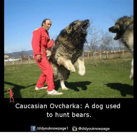 dogs used to hunt bears 25 best memes about caucasian caucasian memes