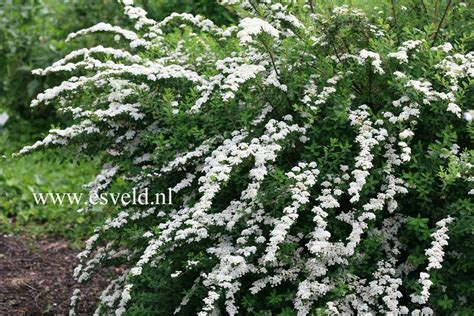 Salvia Nursery by Picture And Description Of Spiraea Nipponica Snowmound